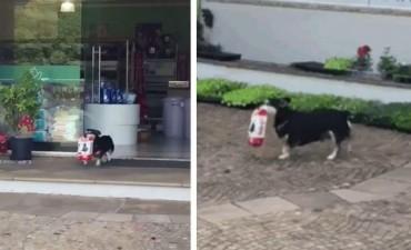 Te enamorarás de este perro que va todos los días a comprar su comida. ¡Incluso la lleva él mismo!