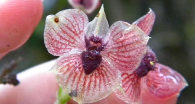 Una nueve especie de orquídea tiene un pequeño demonio en el centro