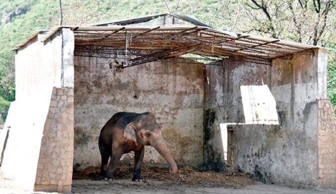 Finalmente la vida le sonríe a un elefante encadenado y torturado hace más de 28 años