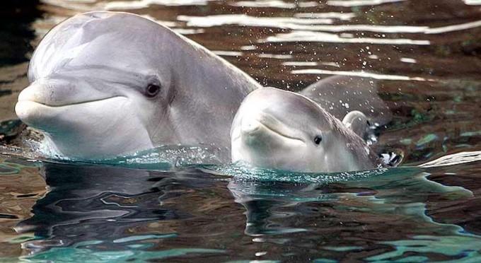 Así de increíble y tierno: Las mamás delfines le cantan a sus bebés cuando aún están en el útero