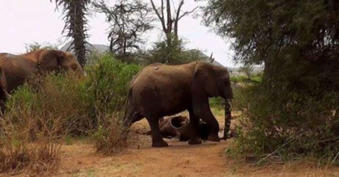 """Los elefantes son tan empáticos que """"velan"""" a sus muertos aunque no estén emparentados"""